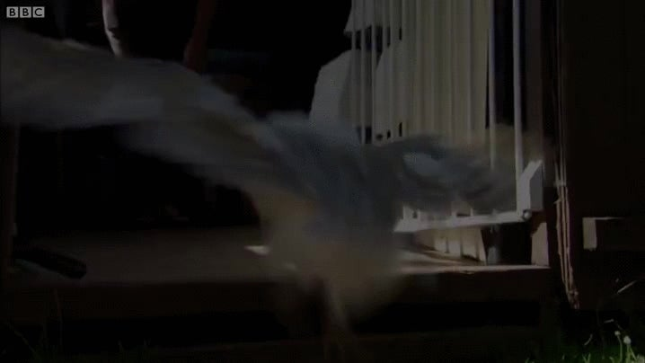 Watch This Adorable Baby Barn Owl Learn To Fly