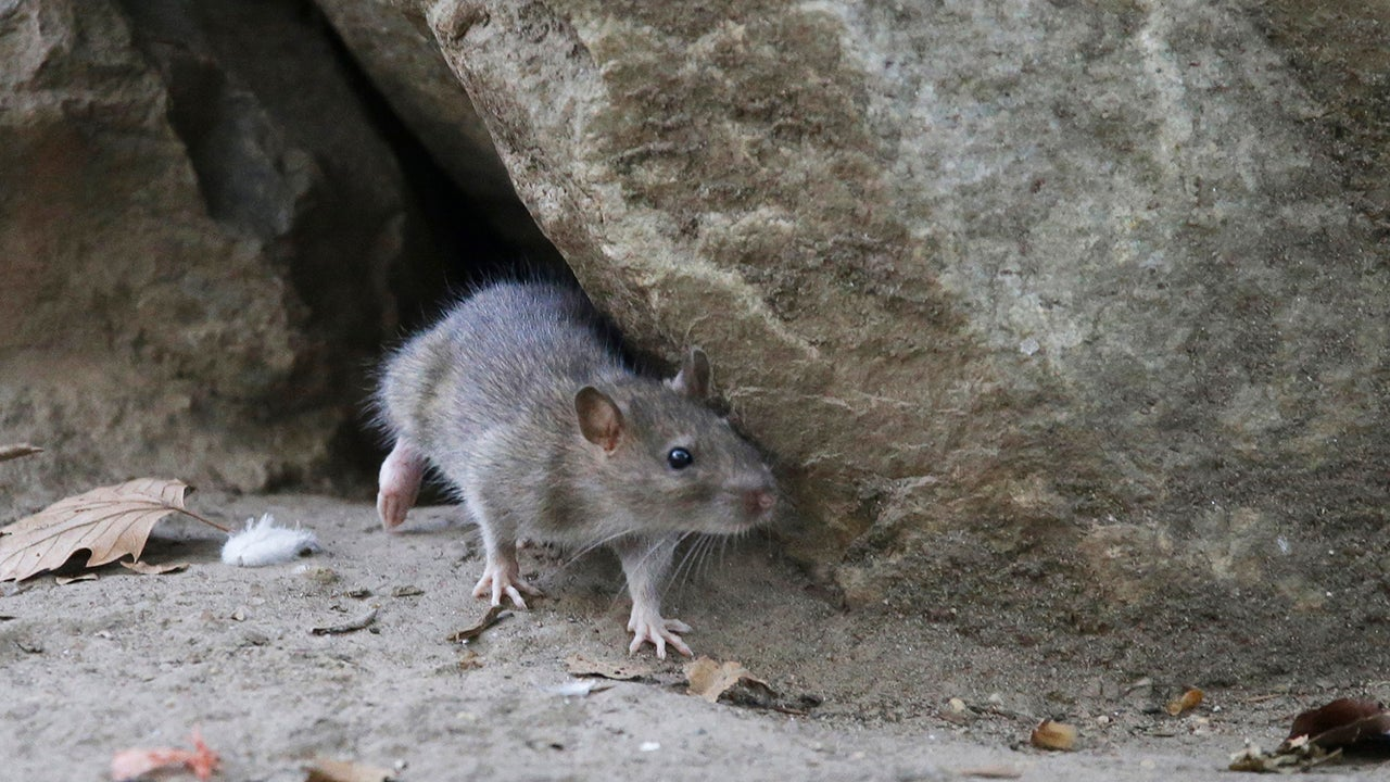 5000 Years Ago, White People Ate Rodents