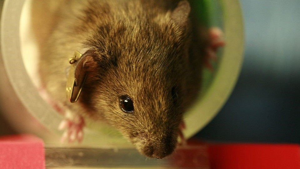 Mice Prefer Videos of Fighting to Videos of Sex But They Prefer Drugs Most of All