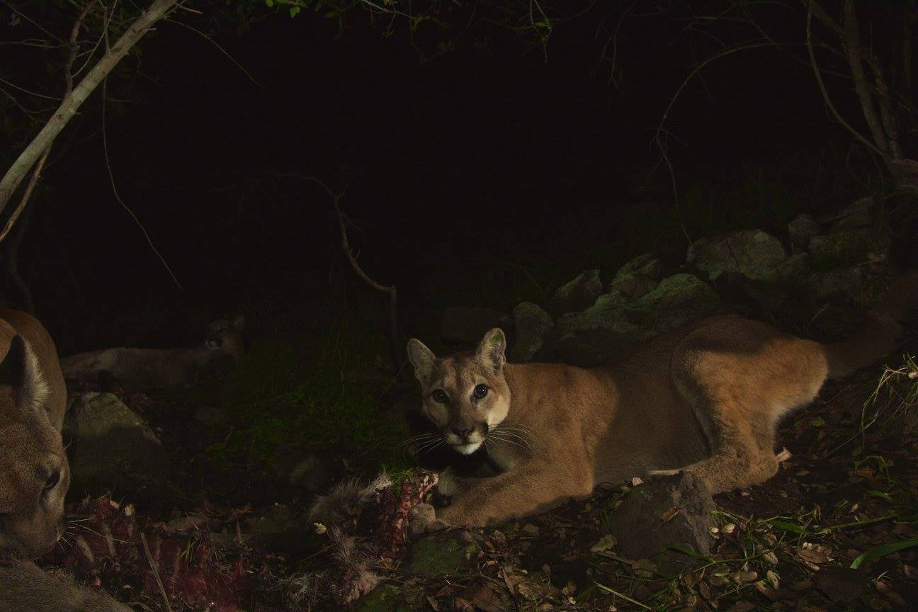 Oh Hai! Amazing Photos Capture LA's Newest Baby Mountain Lions