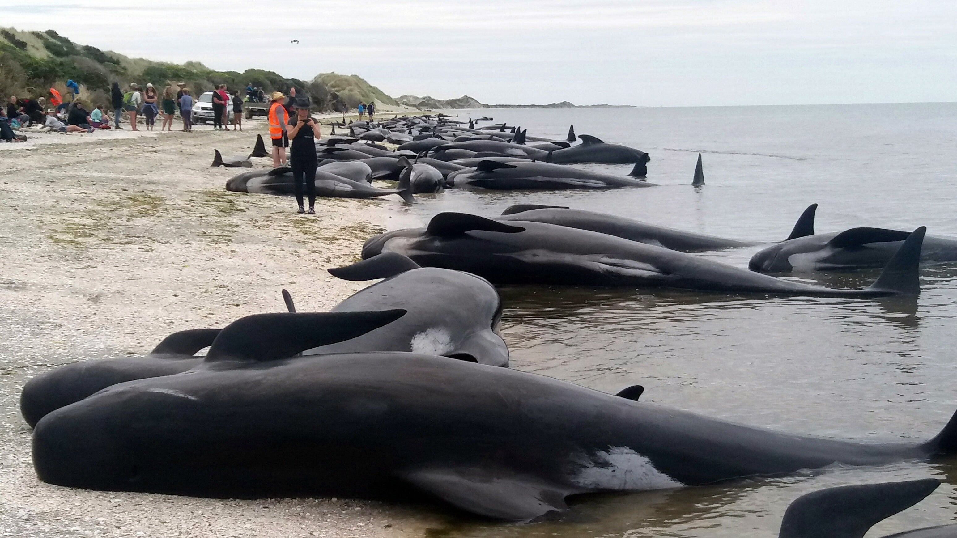 Hundreds Of Whales Are Dead Following A Horrific Mass Stranding In New Zealand