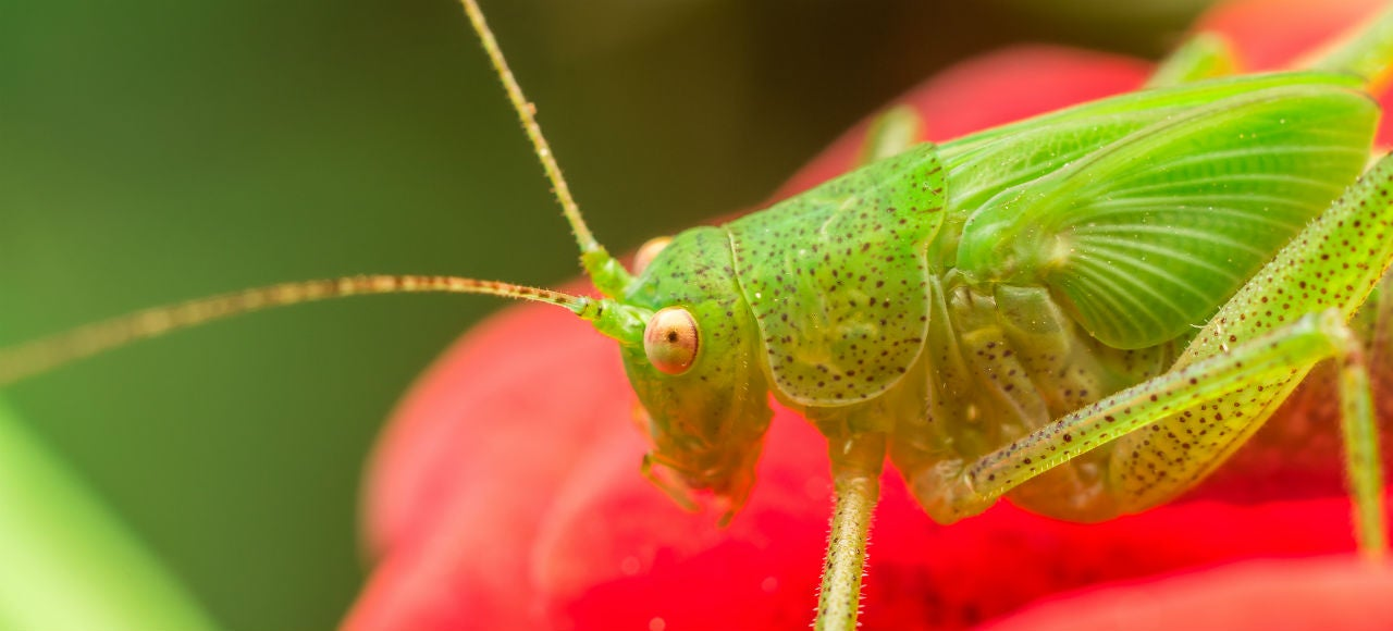 Why Crickets Make Such Excellent Thermometers