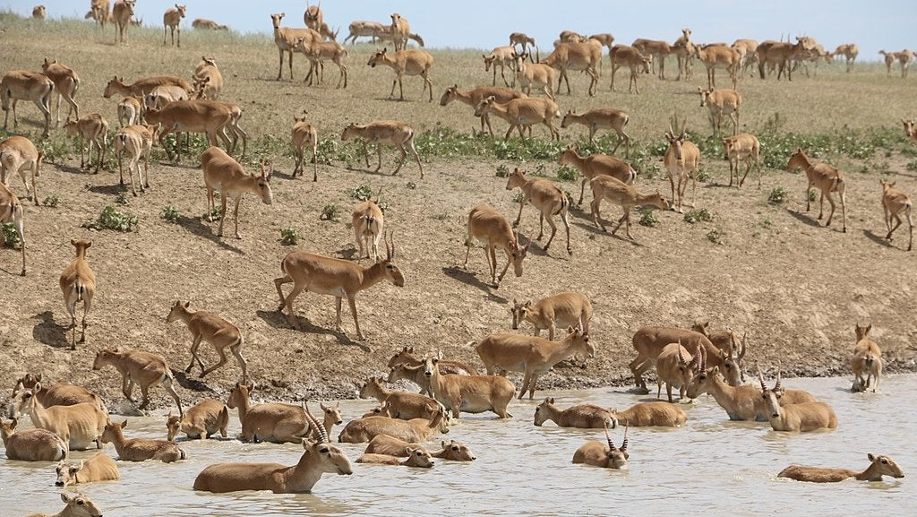 Here's Why 200,000 Saiga Antelope Dropped Dead In Kazakhstan In 2015