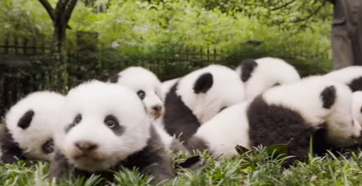 Giant Pandas Are No Longer Endangered