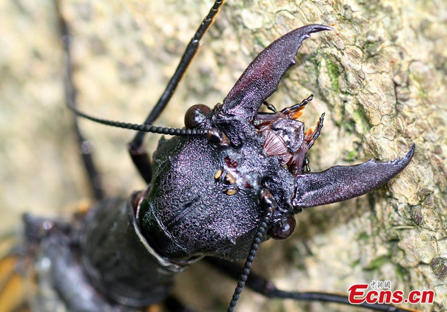World's largest — and most gross — aquatic insect discovered in China