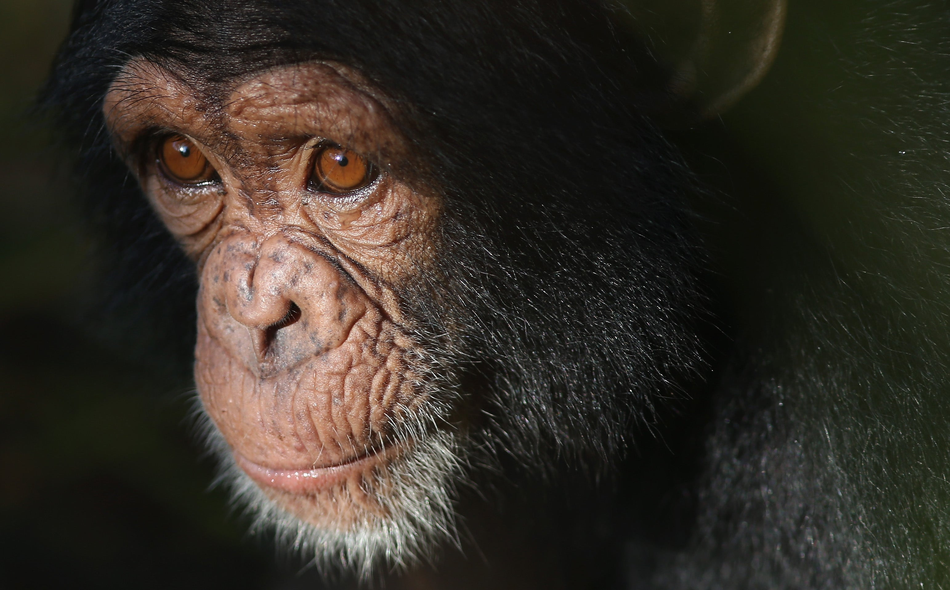 Should A Chimpanzee Be Considered A Person?