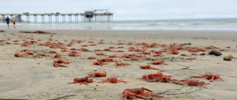 El Niño Gives California Crabs
