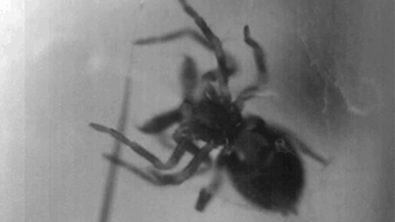 Horrifying Footage Reveals the Lightning-Fast Chomp of Trap-Jaw Spiders