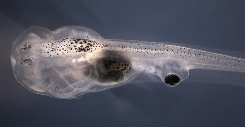 Freaky Experiment Allows Tadpoles To See Out Of Eyes Implanted On Their Tails