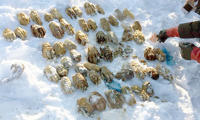 Gruesome Scene As Bag Containing 54 Severed Hands Found In Siberia