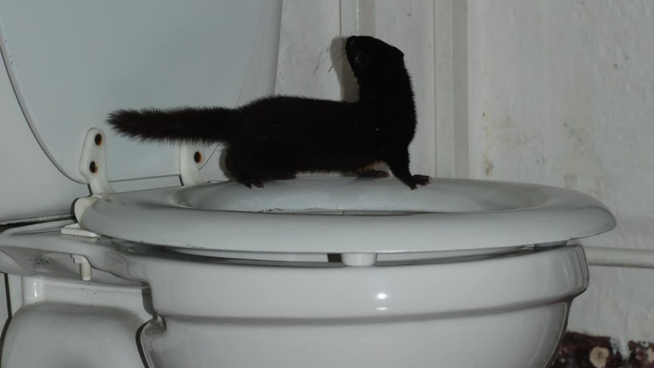 Man Takes First-Ever Photo Of Living Colombian Weasel After Finding It Standing On His Toilet