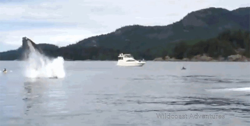 Flying Humpback Whale Nearly Crushes Kayakers