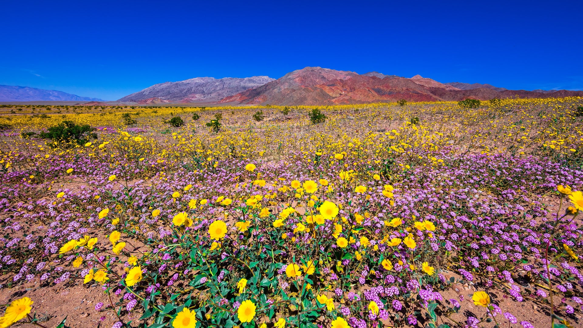 The Death Valley Super Bloom Is Incredible