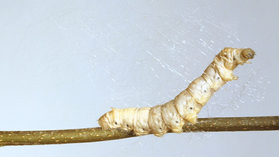 Science Gives Silkworms Spiderman-esque Silk