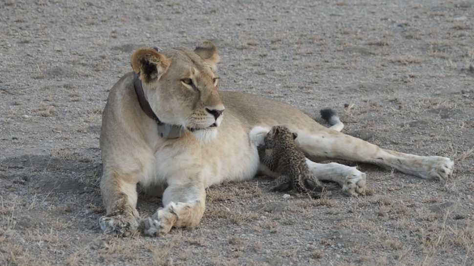 Lion seen nursing leopard cub in Tanzania