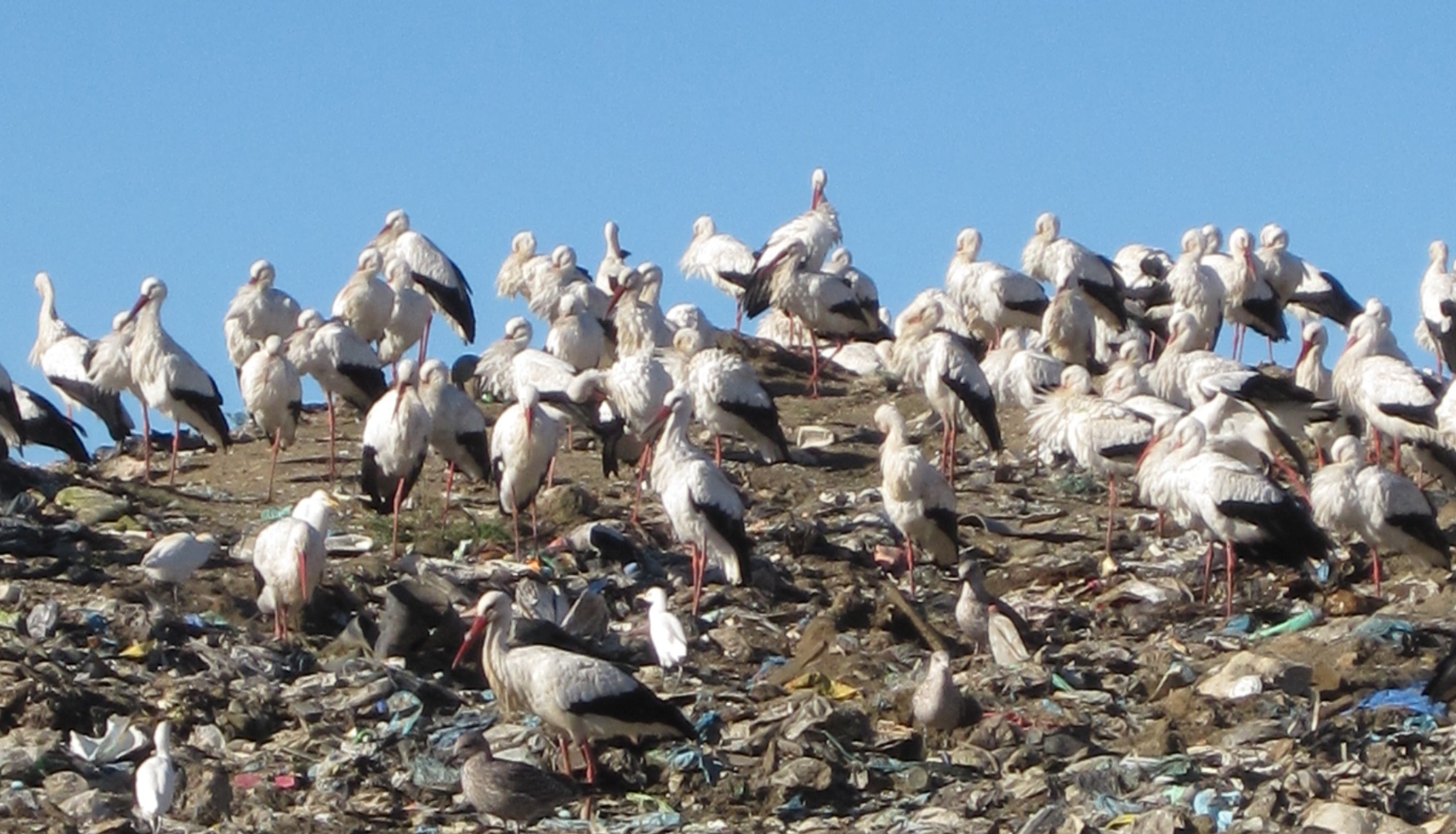 Lazy Storks Just Sit Around and Eat Trash Now
