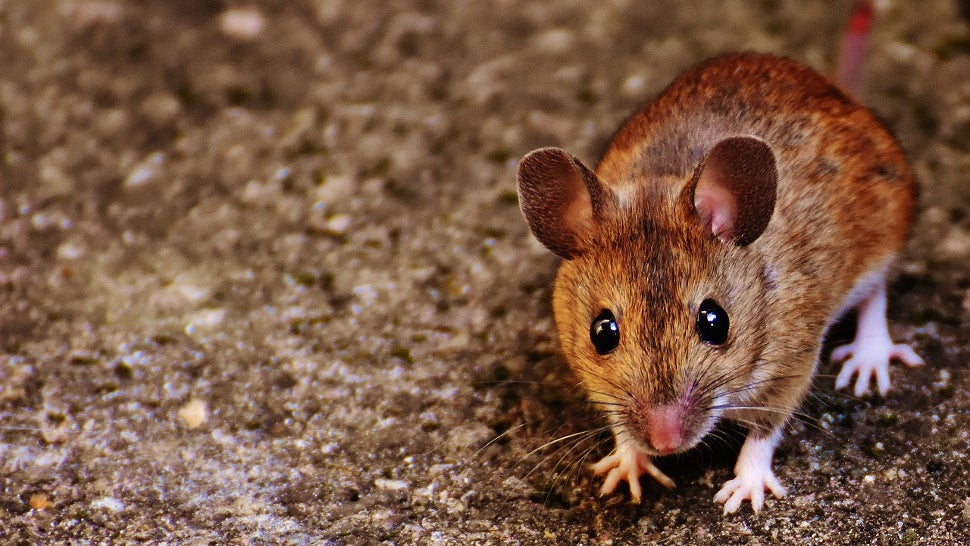 Mice Have Been Mooching Off Humans For An Astounding 15,000 Years
