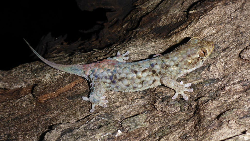 This Freaky Gecko Detaches Its Giant Scales To Escape Predators