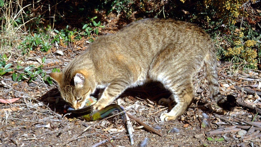 This Story About Australia's Feral Cats Eating KFC Only Gets Weirder