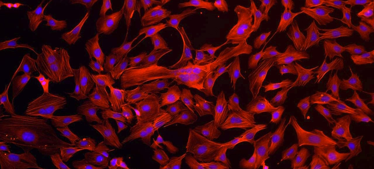 Blood Vessel Cells Up Close Remind Us We Are Made Of Star Stuff