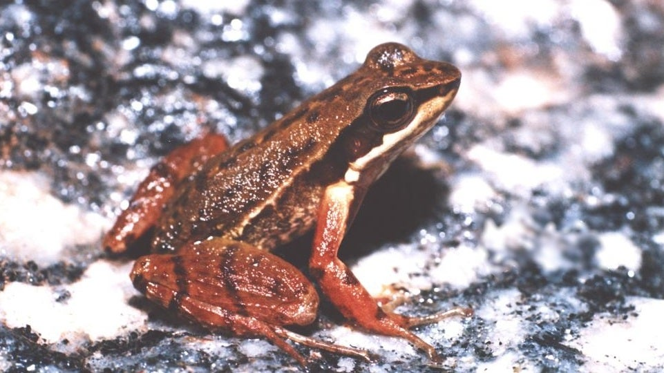 These Frogs Do Awkward Dance Numbers To Find A Mate