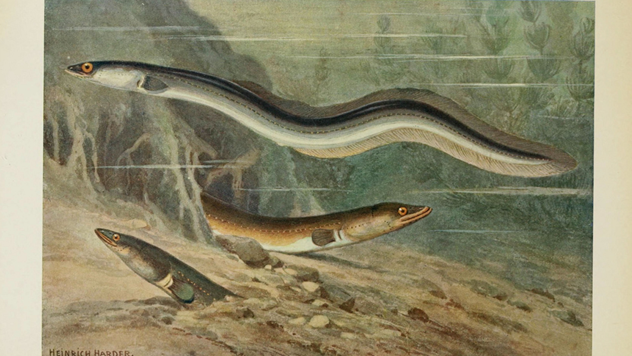Drama Over How Eels Navigate Highlights Problems In Science Publishing