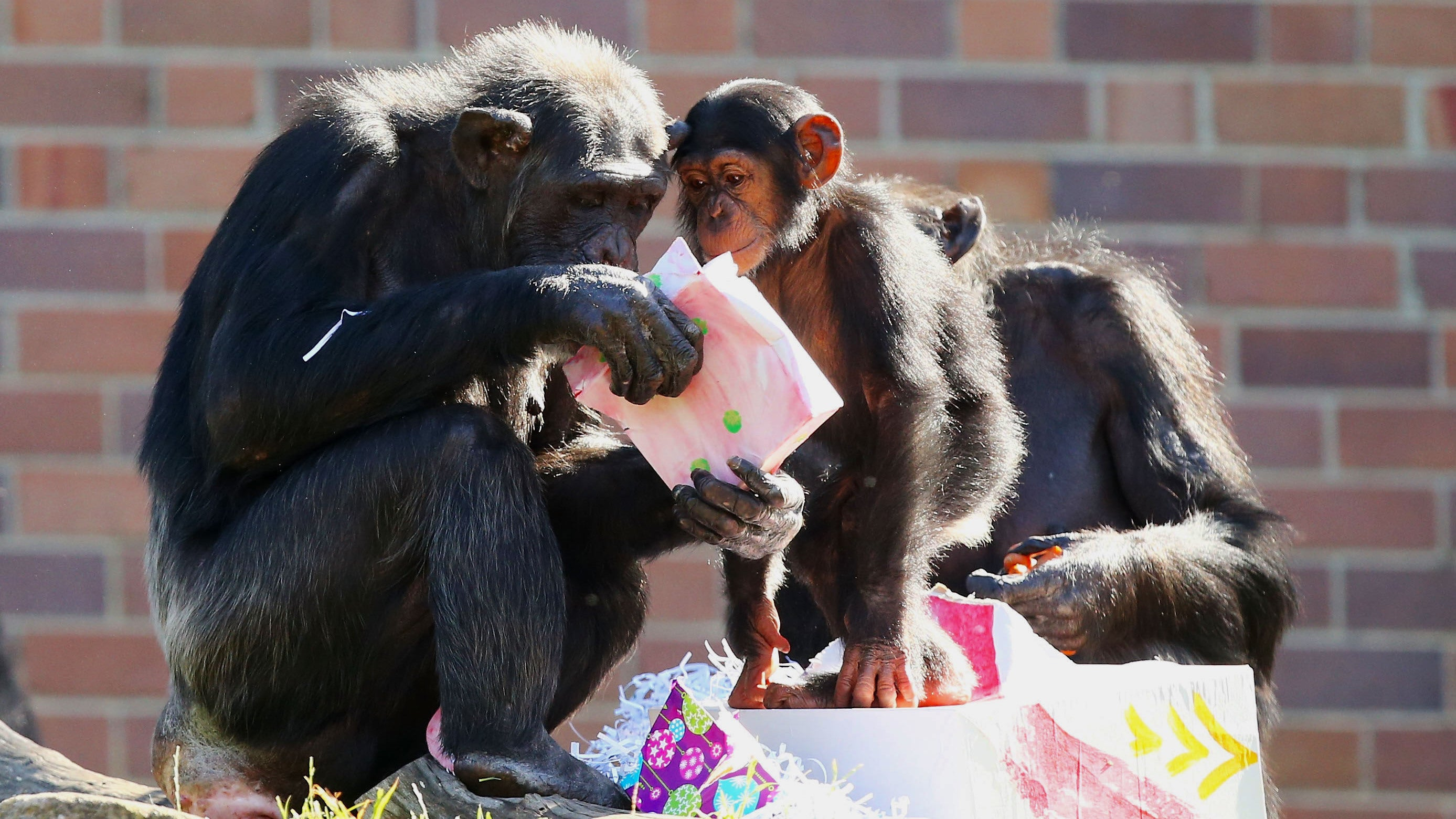 Toddlers And Chimpanzees Share A Surprising Unspoken Language