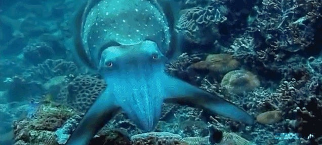 Cuttlefish hypnotize their prey performing these trippy light shows