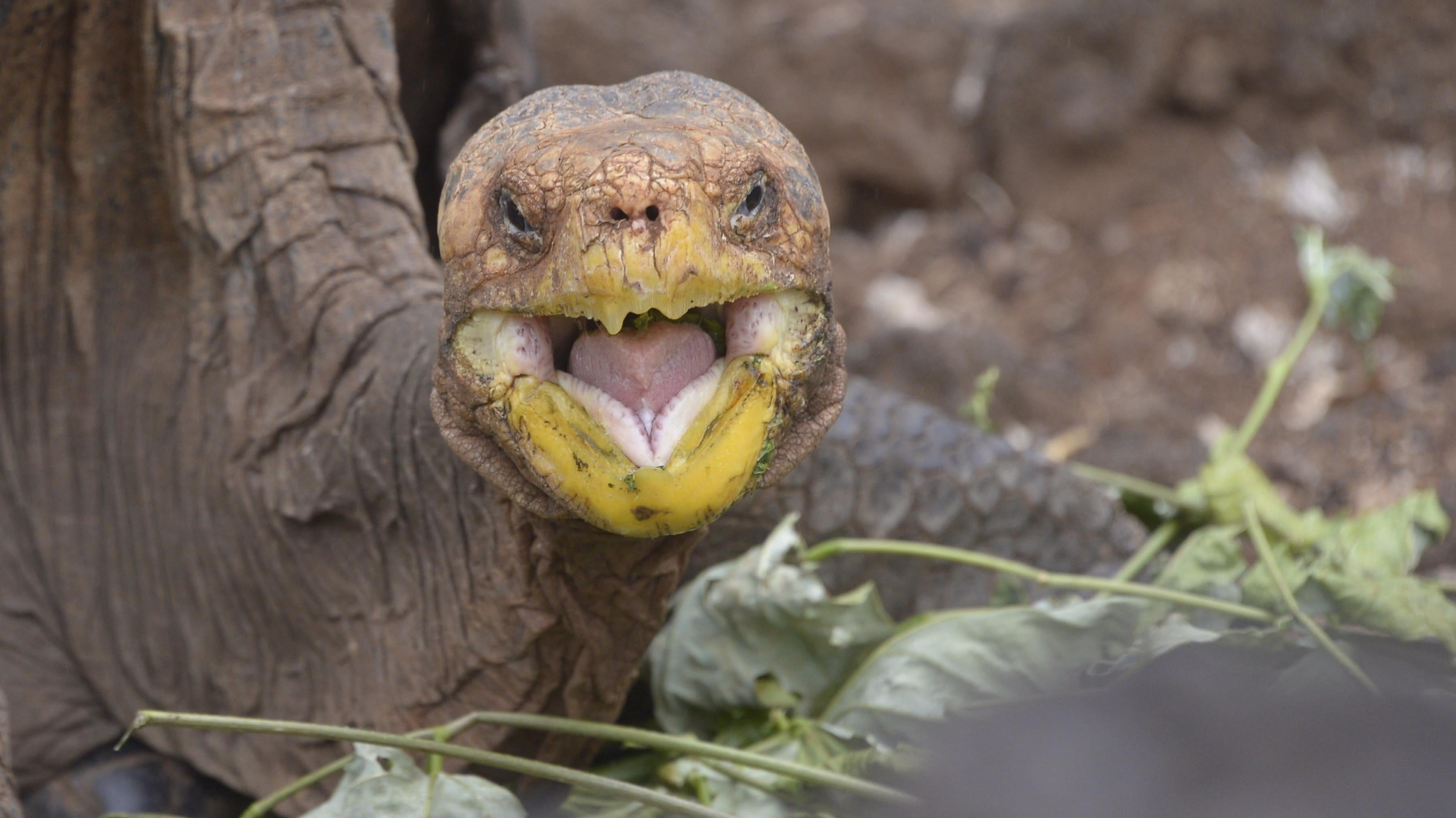 After Saving A Species Through Sheer Horniness, This Tortoise Is Heading Home