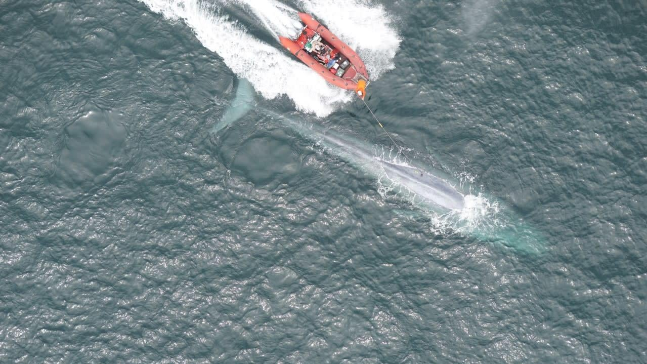 First Measurements Of A Blue Whale's Heart Rate Is A Glimpse Into The Biology Of Extremes