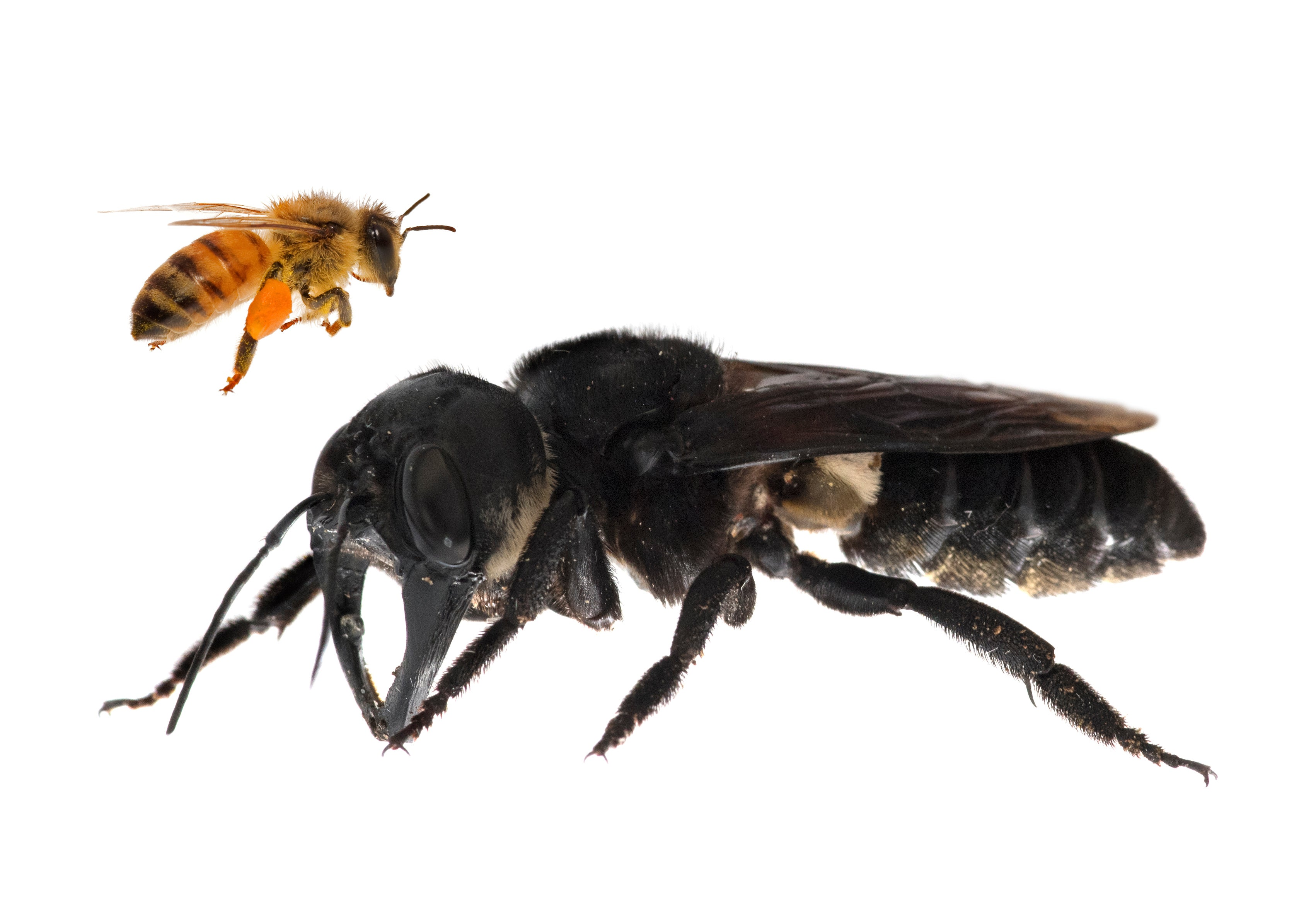 World's Biggest Bee, Once Thought Extinct, Has Been Found Alive