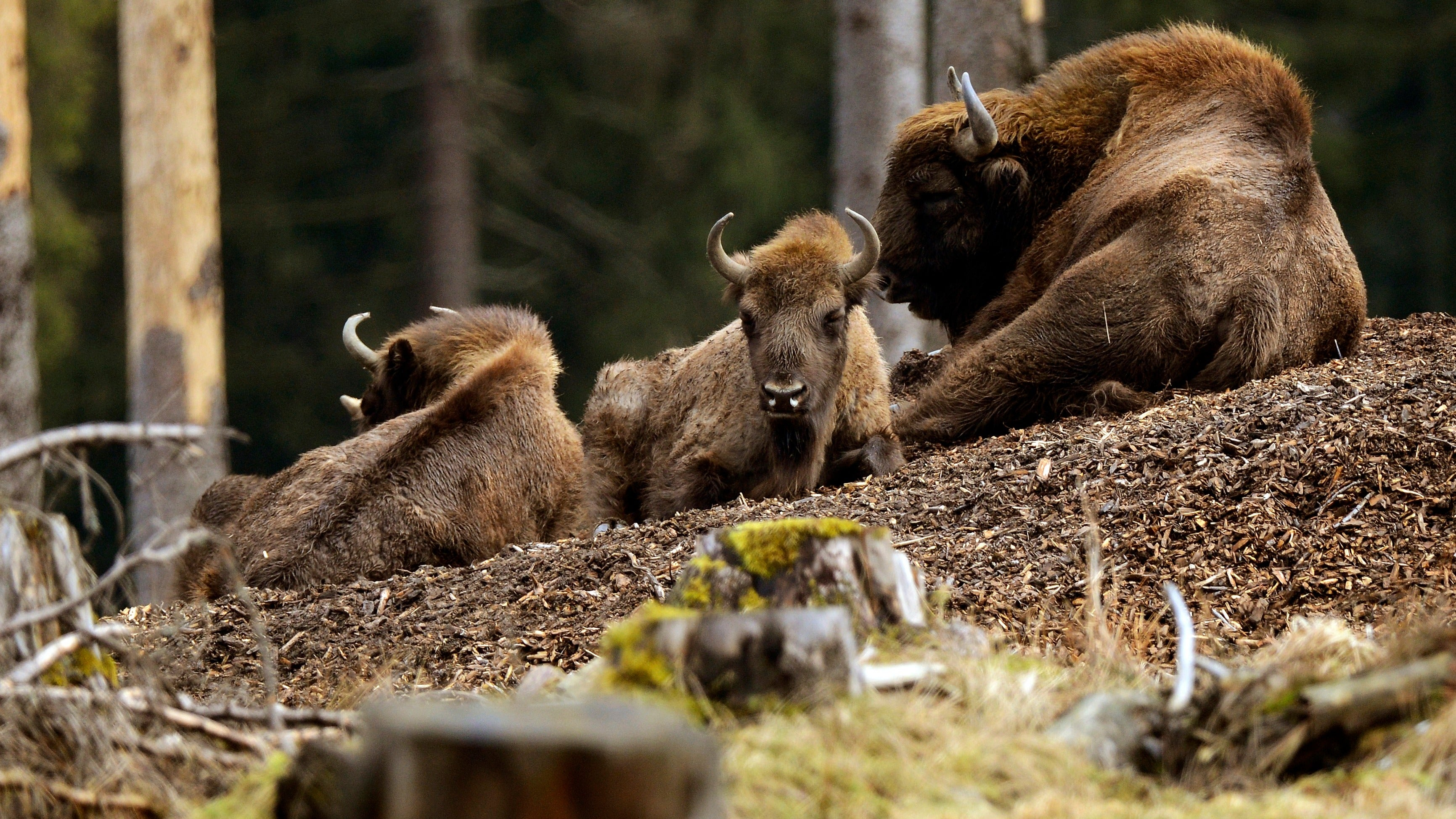 Jerk Humans Immediately Shoot First Wild Bison Seen In Germany For Over 250 Years