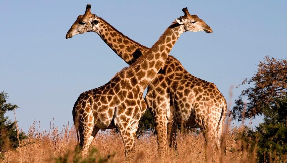 Genetic Clues Reveal How Giraffes Got Their Long Necks