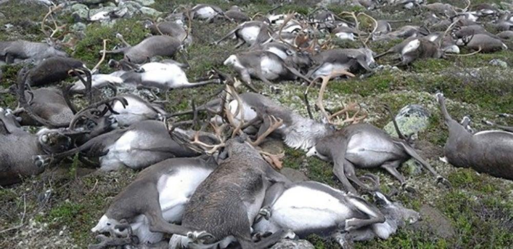 Lightning Storm Kills Hundreds Of Reindeer In One Fell Swoop