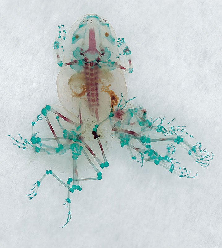 These unbelievable monsters with seven legs are actually real frogs