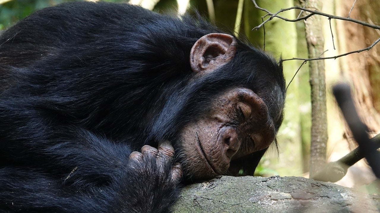 Chimp Beds Are Way Less Filthy Than Human Beds