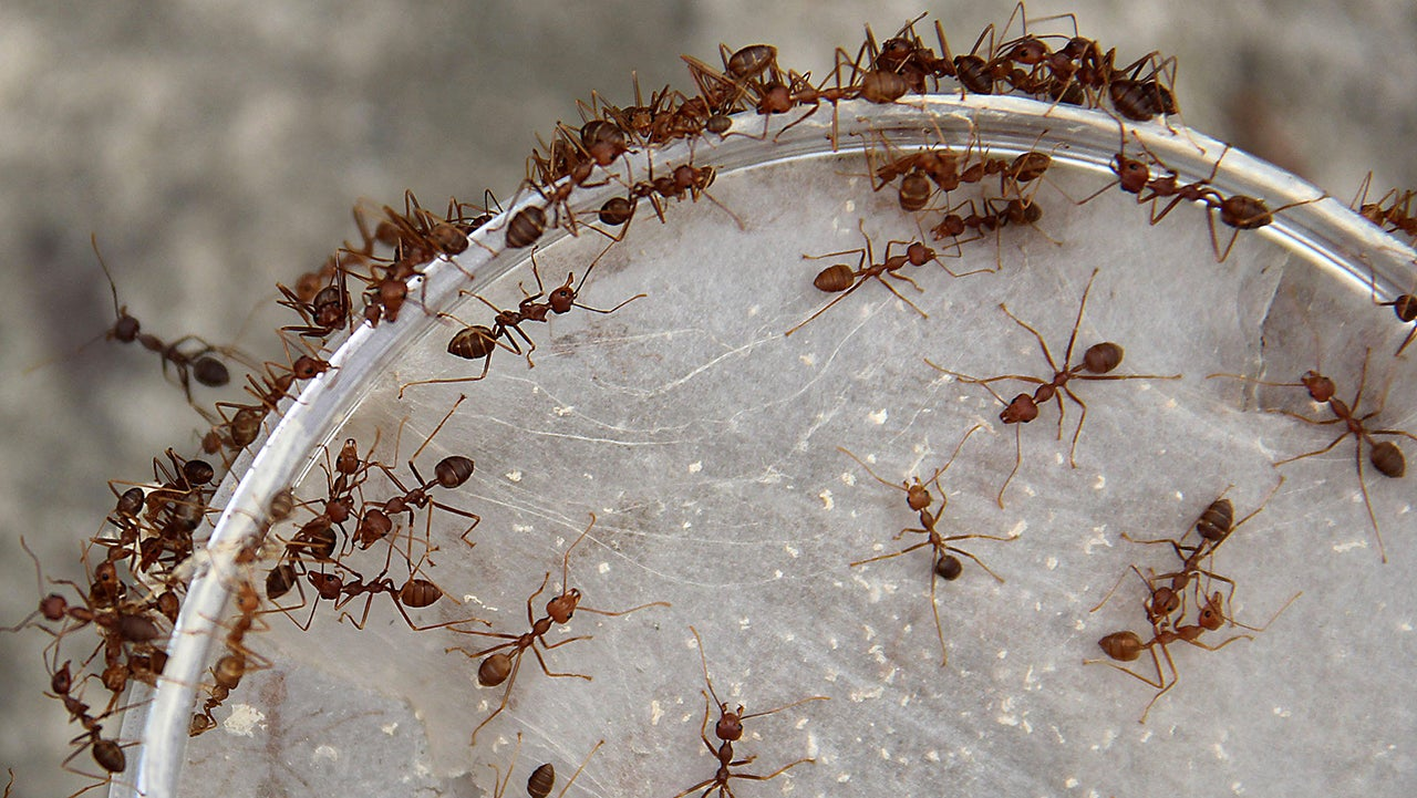 Individualist Ants Better Their Colonies' Future By Dreaming Big