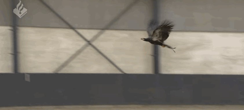 Dutch Police Are Training Eagles to Capture Drones