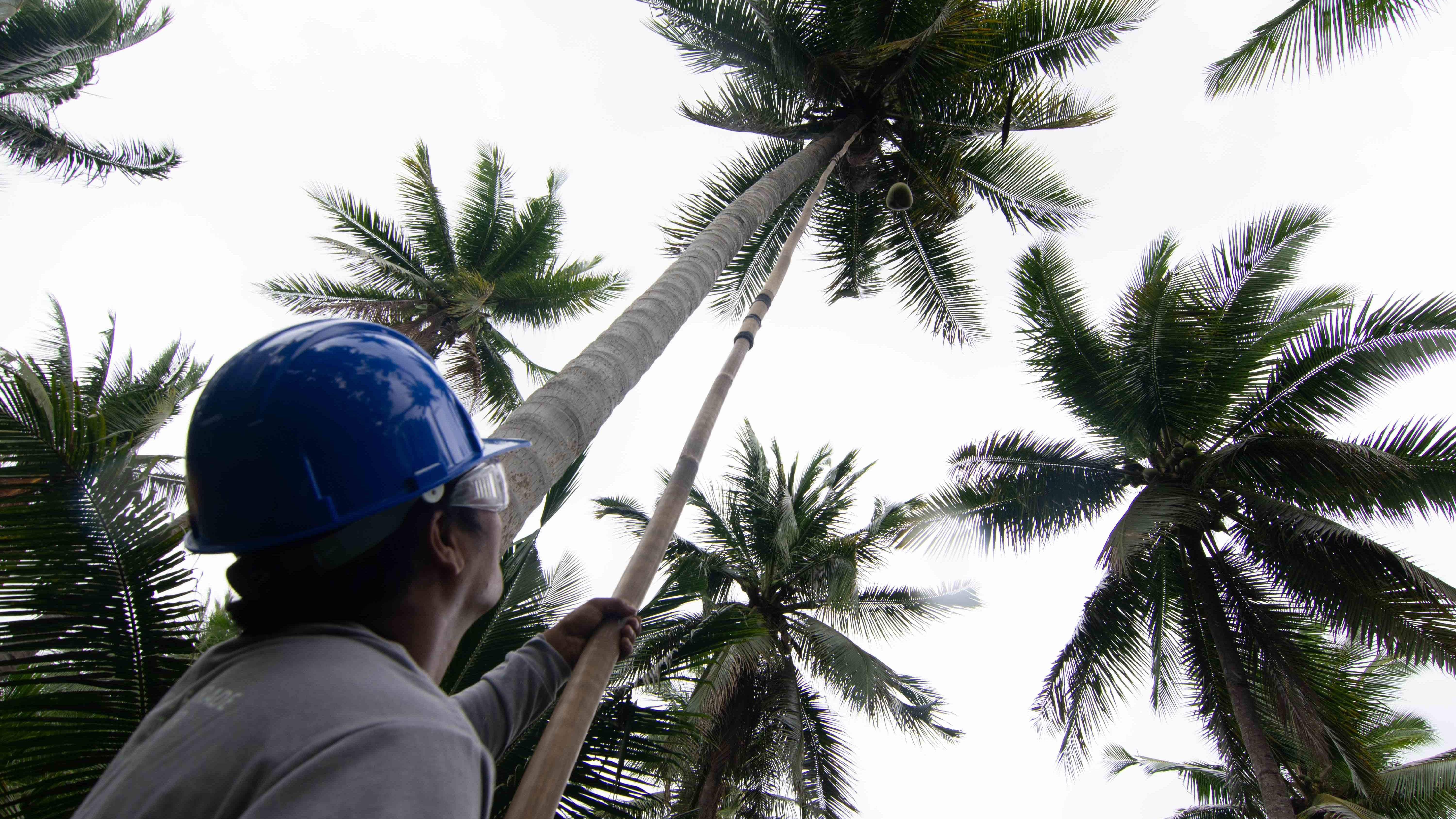Coconut Oil Could Be The Next Disastrous Biofuel