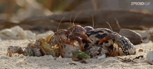 Watch hermit crabs form a line from biggest to smallest to trade shells