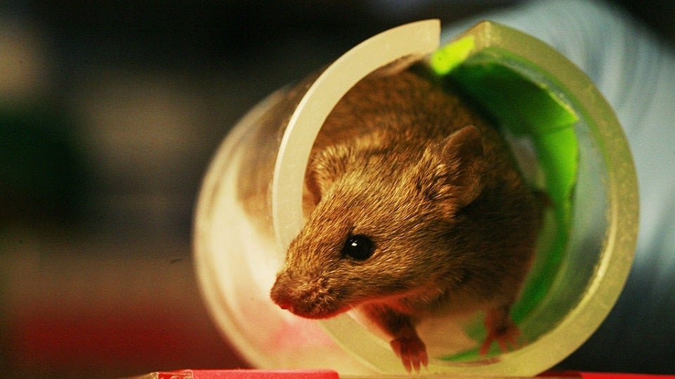 Rodents That Go Missing in Scientific Papers Can Skew Results