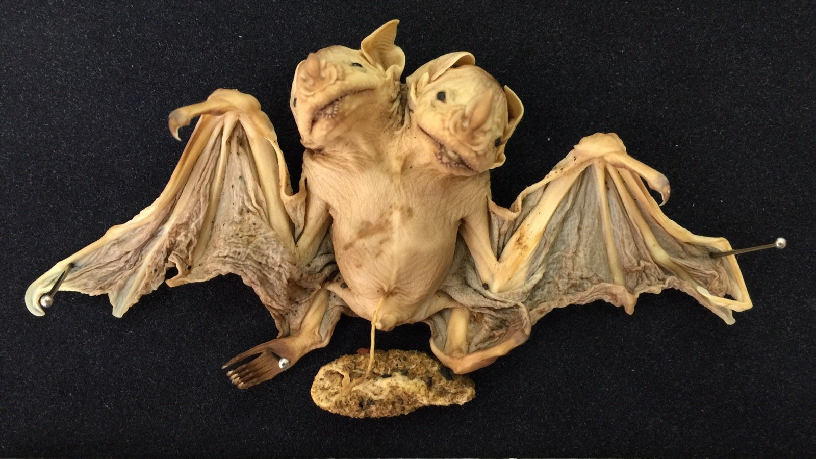 Two-Headed Bat Found In Brazil Is The Stuff Of Nightmares