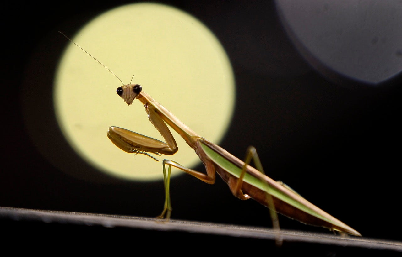 Hungry female praying mantis will fake fertility to eat males