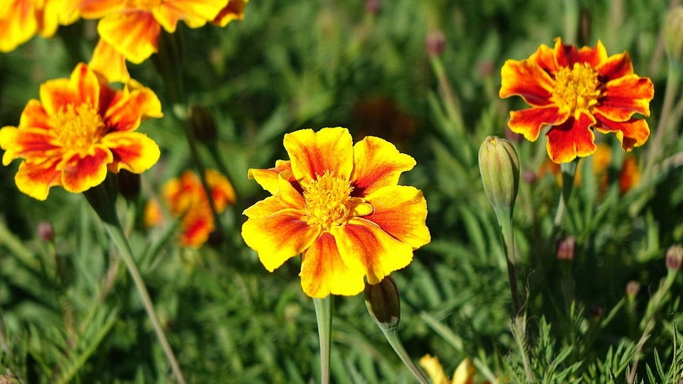 Marigolds Are the Temptress-Assassins of the Botanical World