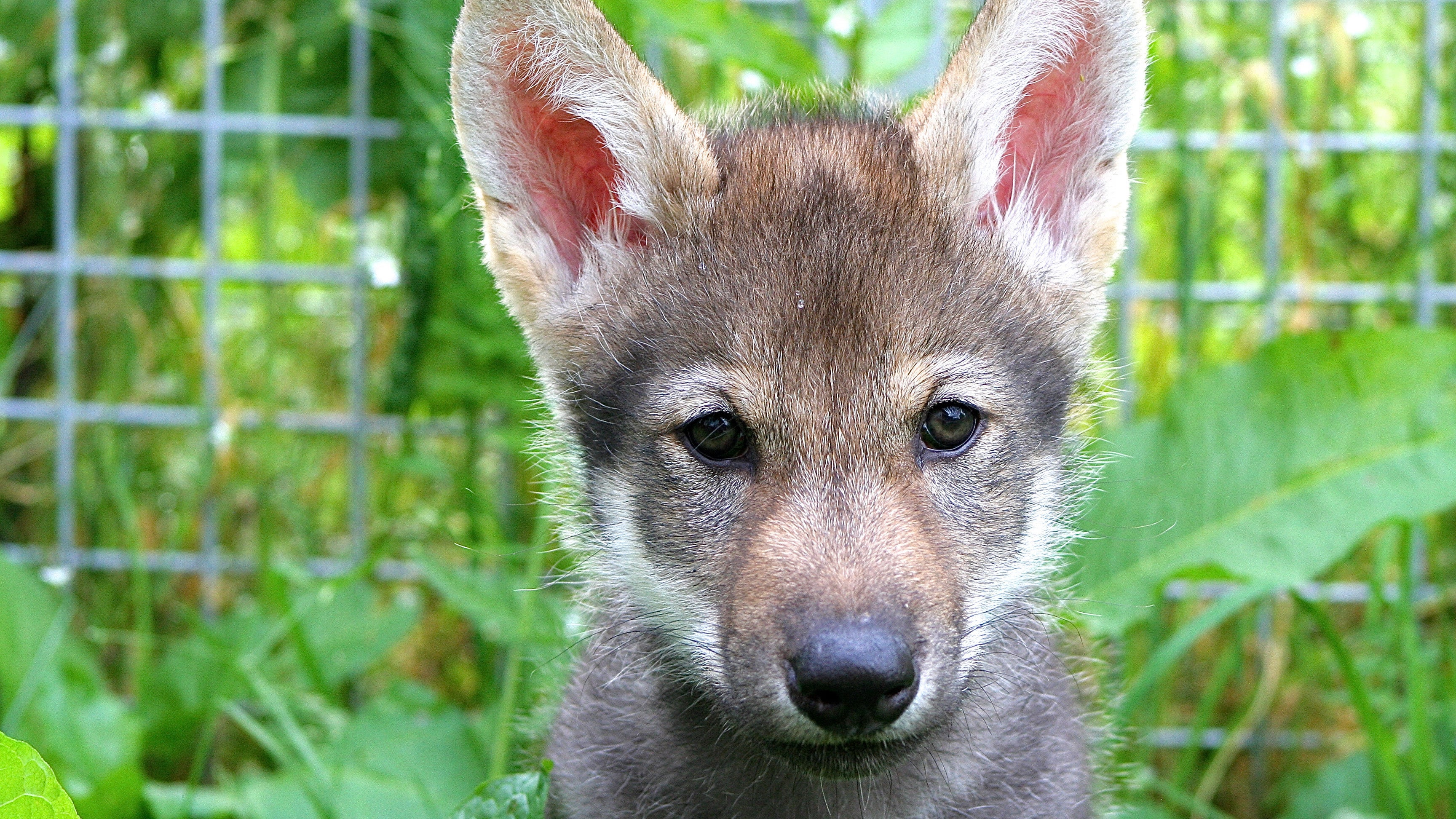 Surprising Experiment Suggests Wolf Puppies Can Play Fetch