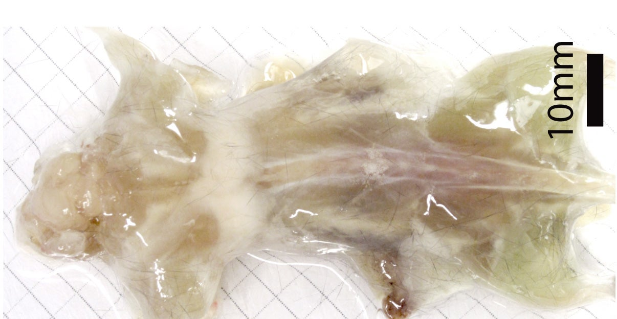 Scientists Made This Entire Mouse Transparent Using Detergent