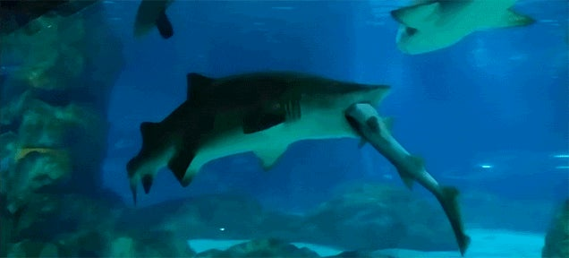 Big Shark Eats Little Shark in Aquarium