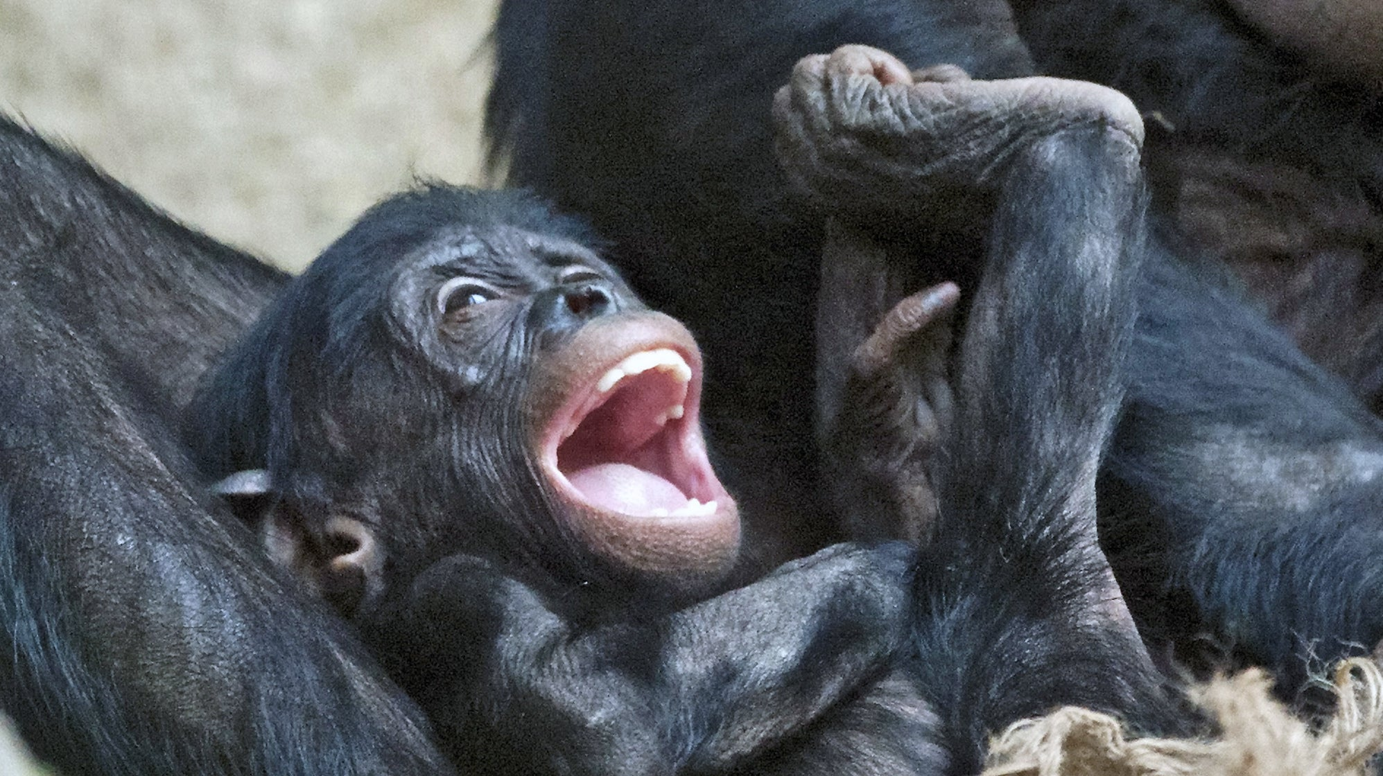 Human Babies Laugh Just Like Chimpanzees