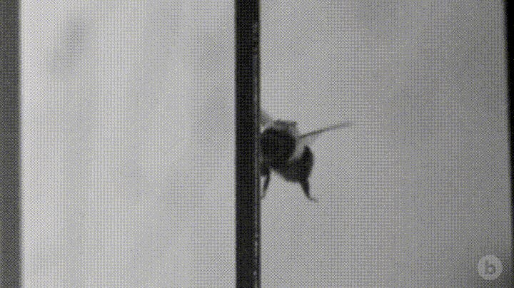 Bumblebees Collide With Objects More Often Than You Think