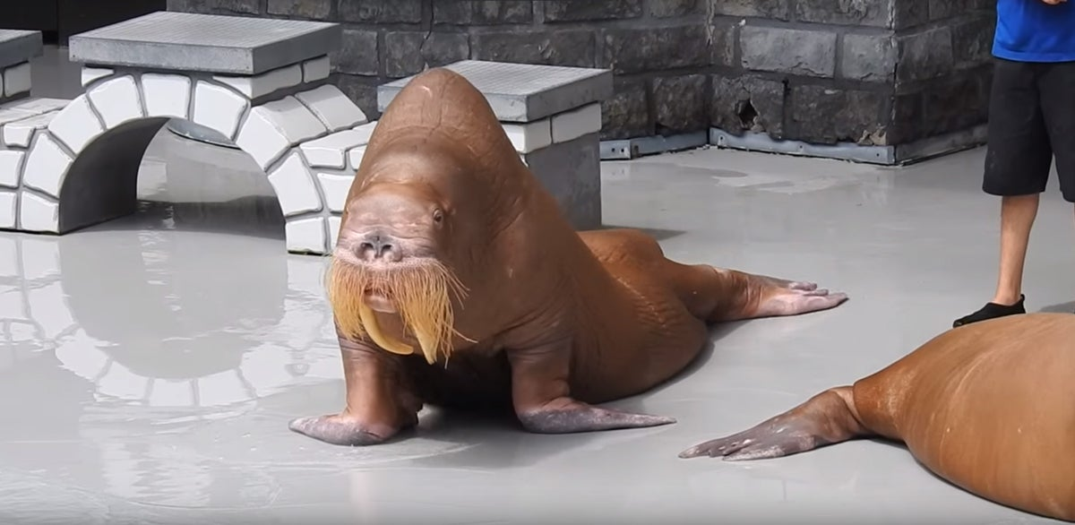 Park Denies Allegations That It Starved Walrus After Video Appears Online